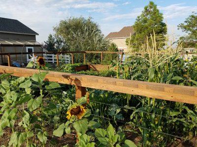 Garden Sunflowers Corn